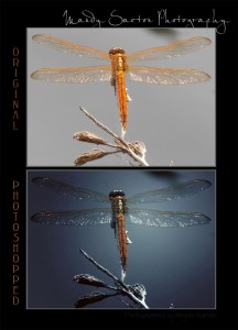MandySaxton_Dragonfly2_combined