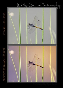 MandySaxton_Dragonfly3_combined
